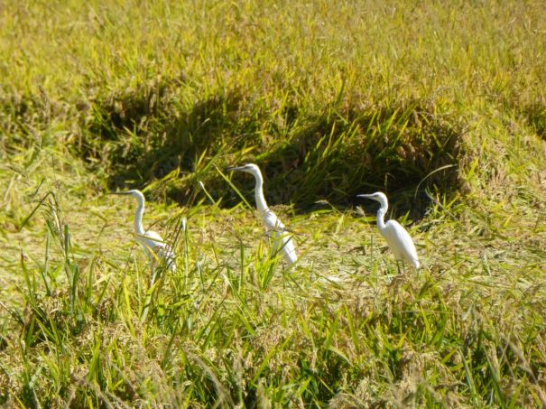 Egrets in the fields by the Canal