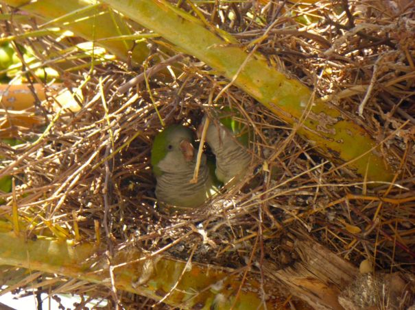 Parakeets in a Palm Tree