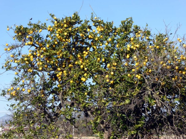 Lemon Tree alongside our cycle ride