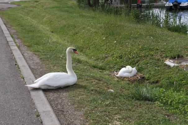 9. swans
