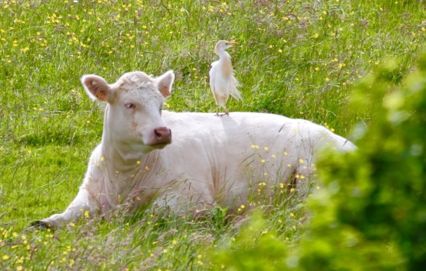 Egret perched on Cow.