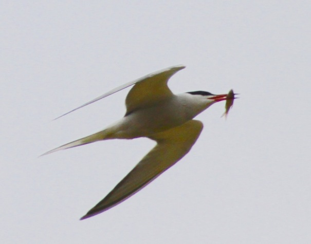 One Good Tern.....Fish for Breakfast.