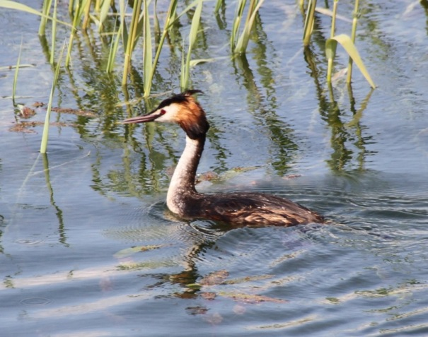 Great Cested Grebe