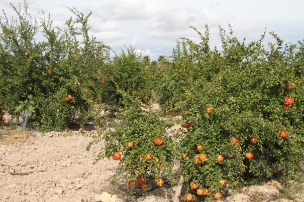 Pomegranites