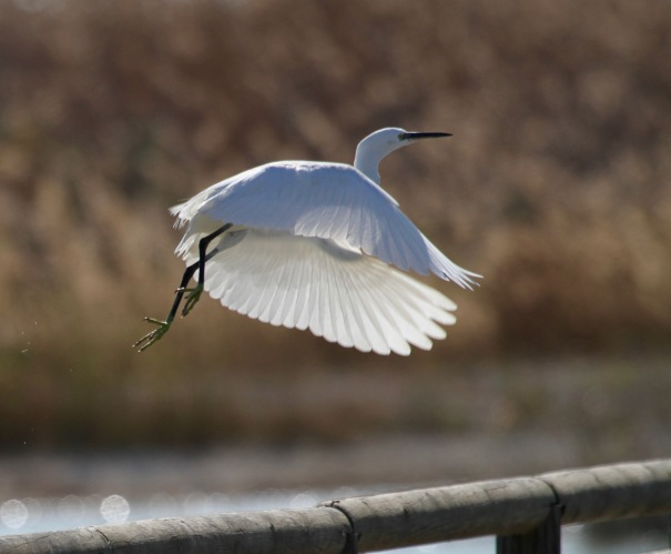 Egret taking off.