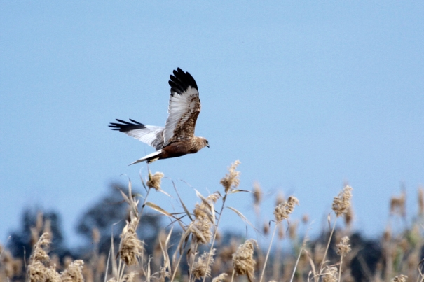 Marsh Harrier over El Fondo
