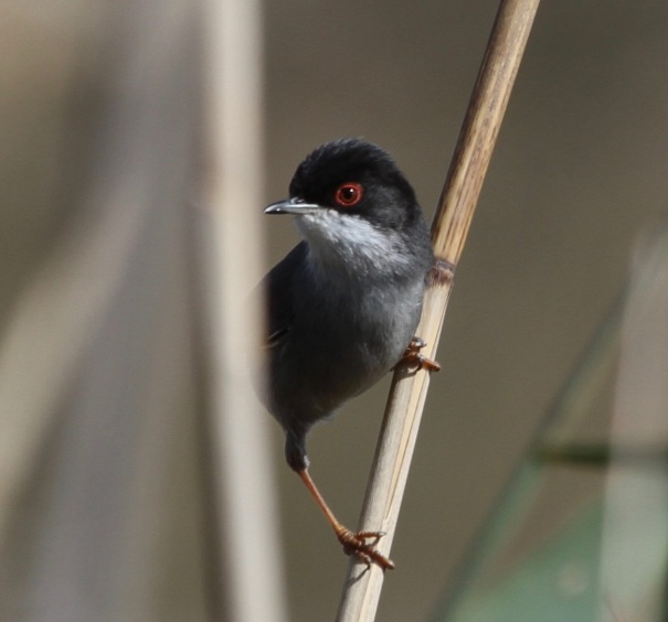 Sardinian Warbler (thanks to Guy Broome and Miss MacPic for ID)